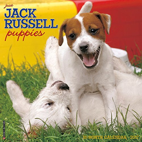 Just Jack Russell Puppies 2017 Calendar