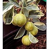 レモン(斑入り):ピンクレモネード4号ポット[葉も実も斑入り!かんきつ類苗木] ノーブランド品