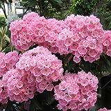 カルミア:ピンクボール根巻き樹高40~50cm[コンペイトウのような可愛らしい花人気の大輪種!]