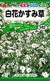 【種子】白花かすみ草 花 トーホクのタネ