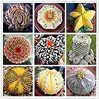 200レアミックスLithopsは、屋内多肉植物のための盆栽plantas、リビングストーンズジューシーオーガニックガーデンバルクplanteフローレス島:ミックス