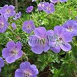 [Blooms]ゲラニウム:ロザンネイ3.5号ポット[暑さに強いブルーのフウロソウ]
