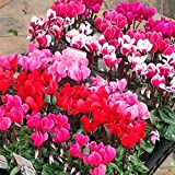 ガーデンシクラメン(ミニシクラメン):花色ミックス3号ポット6株セット* ノーブランド品