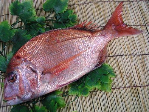 瀬戸内の天然活け鯛3kg【結納に使われています、その他祝い事にも】