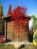 真っ赤な葉☆ノムラモミジ樹高2.5m前後 単木!赤もみじ・紅葉