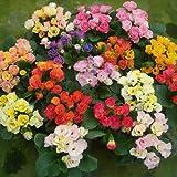 開花前特別価格 半八重~八重咲きプリムラ ジュリアン キャンディマジック 3株セット 冬咲き 鉢植え 庭植えガーデニング 寄せ植え等に