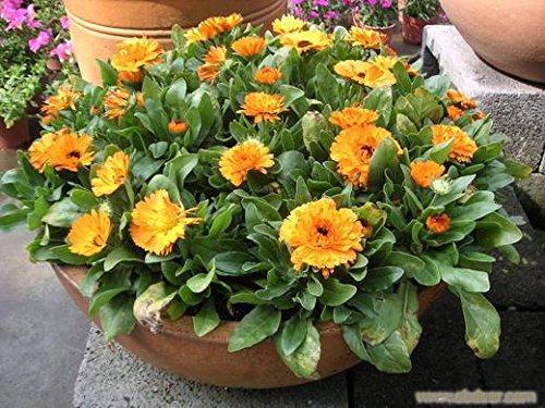 イエロー英語マリーゴールド(キンセンカOffcinalis)種子、オリジナルパック、60種子/パック、盆栽ポットマリーゴールドの花の種
