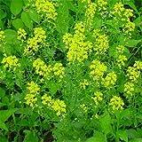 B)10000個の種子:Outsideprideブラックマスタードハーブの種
