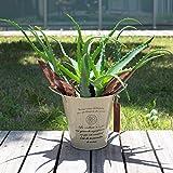 [ギフトに]キダチアロエ(木立アロエ)5号鉢植え/カンパーニュブリキバケツ-(アイボリー)入り ノーブランド品