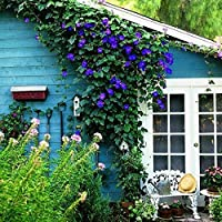 50個/バッグレアブラックペチュニア、朝顔の花を登る、ポットシード装飾ホームガーデン簡単に育てる:11