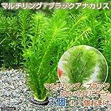 (水草)メダカ・金魚藻 お一人様1点限り マルチリング・ブラック(黒) アナカリス(3個+カボンバ1個おまけ) 本州・四国限定[生体]