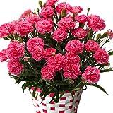 カーネーション  5号鉢 ピンク 鉢カバーつき 底面給水だから管理も簡単 丈夫で長く咲いてくれます (ピンク)