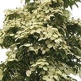 常緑ヤマボウシ:イエローペイジ根巻き樹高1.2~1.5m[非常に花付きのよい大輪品種]