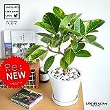 LAND PLANTS フィカス・アルテシーマ 白色デザイン陶器鉢