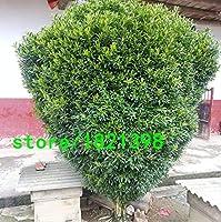 2:家族のためのミニ盆栽黄色種子グッドチョツゲ属鉢植えの木箱の種子に100PCSを吸収します