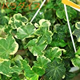 観葉植物:アイビー ヘデラ吊り鉢*品種選べます。 (パラダイス)