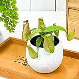 食虫植物 ウツボカズラ ネペンテス グラシリス スポート 3号丸鉢