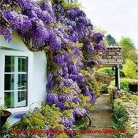 青い日本の藤の生き生きとした盆栽素晴らしい登山者送料無料10個