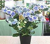 花鉢ギフト 額あじさい「ブルー・紫系」5号かご付鉢植え