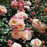バラ苗 ウーメロ 国産大苗6号スリット鉢 修景用 四季咲き中輪 ピンク系