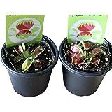 食虫植物 3号 (2ポット, ハエトリソウ)