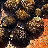 【生体】石巻貝 5個 淡水 コケ取り 淡水貝 川魚 イシマキガイ
