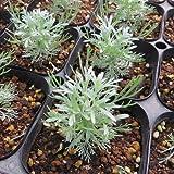 耐寒性宿根草 アサギリソウ(あさぎり草) 2株セット これから生長して秋に一番美しくなります