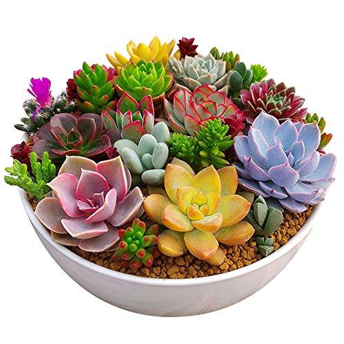 Rosepoem 100pc /パッケージ多肉植物種子種子植物種子花種子入り中庭