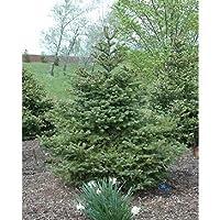 50個の種子:シルバーバーチの木の種、カバノキpendulaの、アルバ