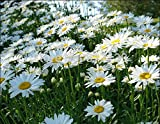 新しい家の庭の植物100種OX EYE DAISYマルグリット菊フランスギク属花の種