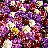 30 +種子/パックスカビオサピンクッションカットブリットミックス(7色)多年生の花の種
