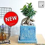 LAND PLANTS 【観葉植物】 がじゅまる ブルー (貫入カラーポット陶器鉢)盆栽仕立て