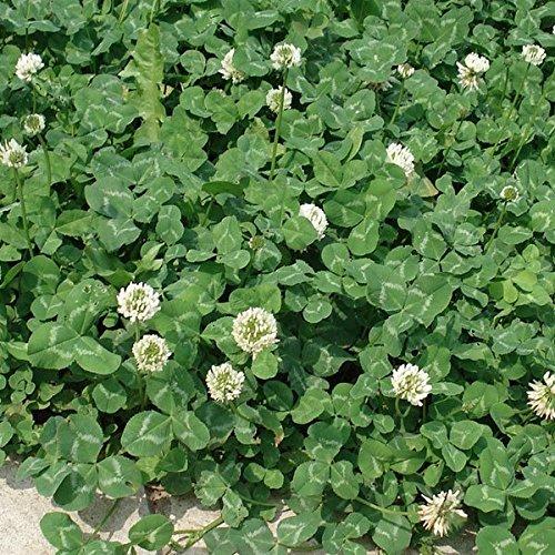 シロクローバー:白クローバー(シロツメグサ)500g入り[タネ][2~5月まき、8~10月まき]