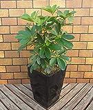 安定感のある黒のデザイン鉢仕様です 植物のある暮らし ホンコンカポック 一緒にお部屋にいさせてね~ 一つは欲しい管理の簡単な観葉植物です 7号角鉢 *お届け先地域によっては別途送料が発生する場合があります