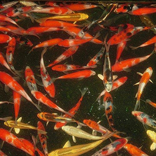 錦鯉ミックス 12cm前後 20尾セット(生体)