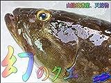幻の高級魚「クエ1.5kg位」