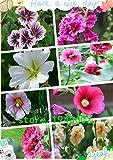 100pcs /ロットVIOLET GIANT DANISH DOUBLEタチアオイ花の種/多年草