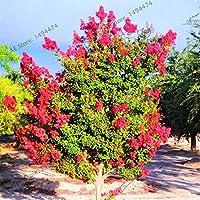 102個/袋ちりめん - Lagerstia'ナチェズ'盆栽の中庭の家の庭の鉢:2