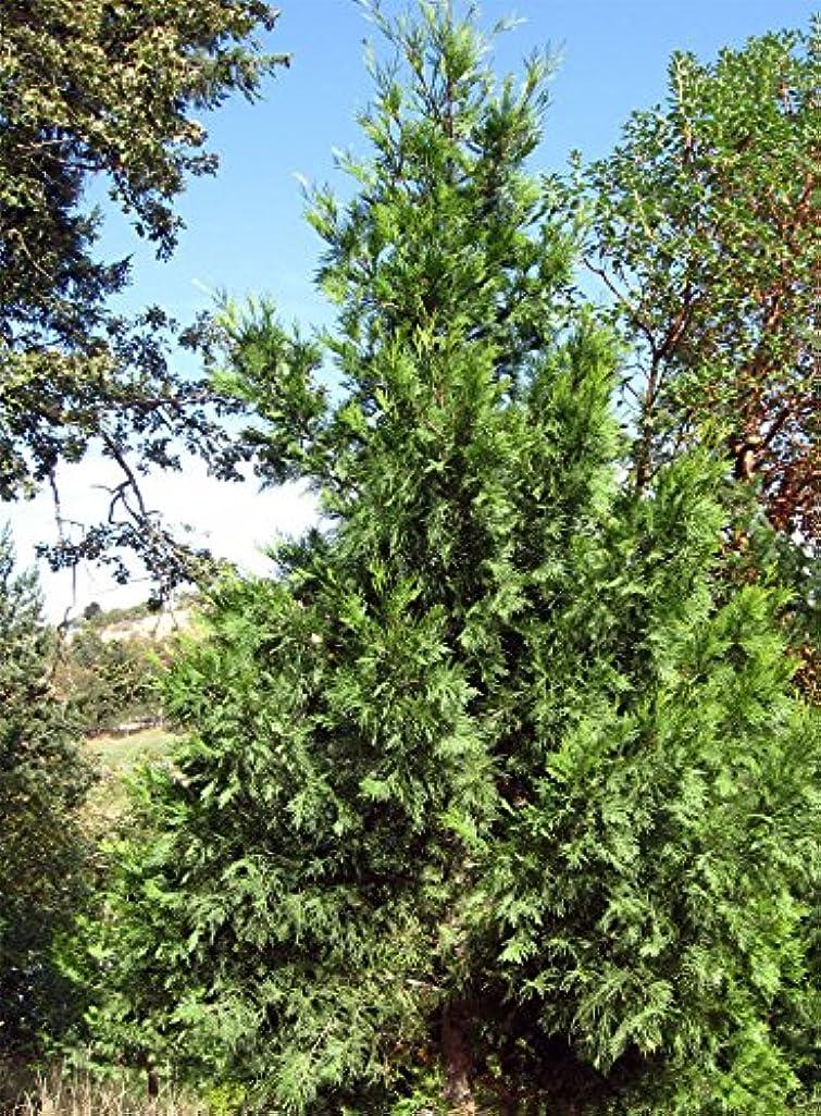 呼び出すレンジマラソンCalocedrusはdecurrens - 香 - 杉を。 Calocedrusは、常に健康的に見えますdecurrens。あなたは今までにトラブル成長の種を持っている場合、これは試してみる種です。これは、ヒノキ種子の...