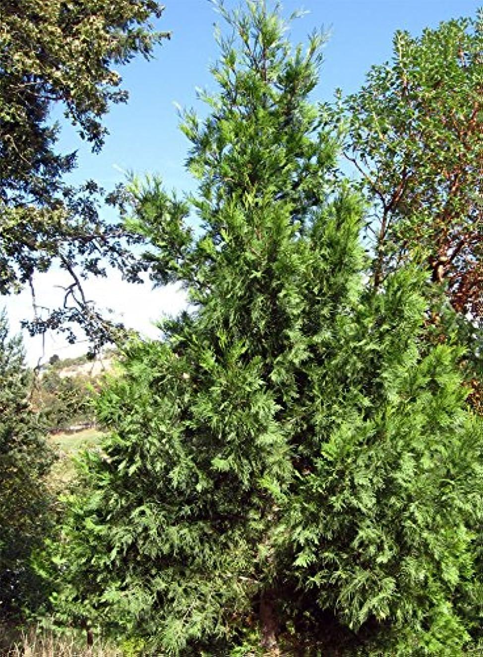 直接不純伝統Calocedrusはdecurrens - 香 - 杉を。 Calocedrusは、常に健康的に見えますdecurrens。あなたは今までにトラブル成長の種を持っている場合、これは試してみる種です。これは、ヒノキ種子の...