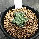 多肉植物:ハオルチア ベヌスタ×白銀城*3cm