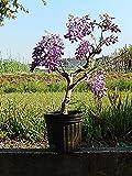 紫花美短藤苗