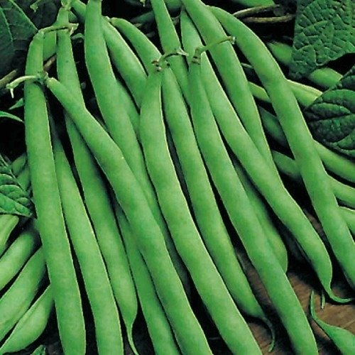 【メール便配送】国華園 野菜たね インゲン つるありすじなし菜豆 1袋(30ml)【※発送が国華園からの場合のみ正規品です】