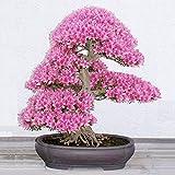 Egrow 10PCSのレアサクラ種子桜の種子庭の花盆栽