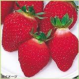 苺(イチゴ) 宝交早生の苗(3苗セット)
