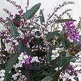 ハーデンベルギア:花色3色ミックス6号鉢植え ノーブランド品