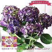 m403 母の日 アジサイ鉢 「LKパープル」 紫色のあじさい 花鉢