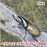 むしや本舗 ヘラクレスオオカブト成虫 オス(ヘラクレスヘラクレス) 135~139mm [生体]