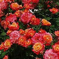 バラ苗 つるチャールストン 国産大苗6号スリット鉢 つるバラ(CL) 返り咲き 複色系
