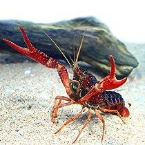 (エビ)アメリカザリガニ(約8-10cm)<3匹>[生体]